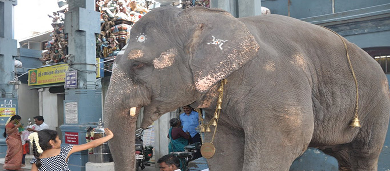 Lakshmi The Elephant |Sri Manakula Vinayagar Temple | Pondicherry